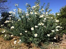 Rare Romneya California Matilija Poppy Organic 50 Seeds 2017 Fresh Harvest