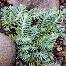 """sedum BLUE SPRUCE cute mini short drought-tolerant 2"""" pot ☆1 Live Potted Plant☆"""