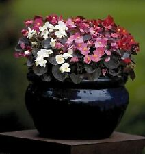30+ GORGEOUS BEGONIA NIGHTLIFE MIX  FLOWER SEEDS   DEEP BRONZE LEAVES / ANNUAL