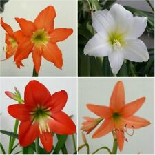 4 Amaryllis Bulbs❤️️ Puniceum+White+Red+Orange 'Hippeastrum' ❤️️Knight Star Lily