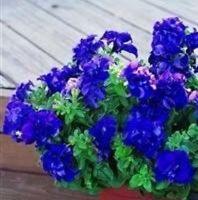 Petunia - Double Cascade Blue - 25 Seeds