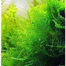 10g - 250g Christmas Moss Carpeting Live Aquatic Plant Shrimp Aquarium Pond UK