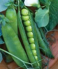 Organic NON-GMO Early Frosty pea 50+ seeds shelling peas high yielding