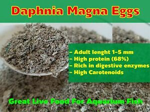 DAPHNIA MAGNA EGGS (WATER FLEA) GREAT LIVE FOOD AQUARIUM FISH BETTA GUPPY FASTUS