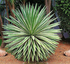 Agave angustifolia variegated @ exotic succulent rare cactus seed plant 50 SEEDS