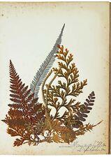 1890 Artistic Herbarium - NEW ZEALAND FERNS - Mrs Tom Bell - King of Kermadecs
