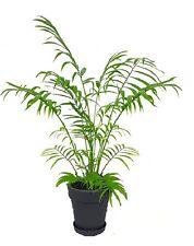 2 Pemba Palmen mediterrane Pflanze große seltene einfache Zimmerpalme Büropalme