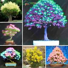 20 Pcs Seeds Bonsai Acacia Tree Plants Organic Blooming Flowers Garden 2019 New