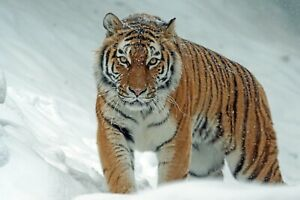 Tiger In The Snow - Wild Life Animal Nature Wall Art Poster / Canvas Pictures