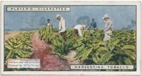 Harvesting Tobacco Plants In The Field  90+ Y/O Trade Ad Card
