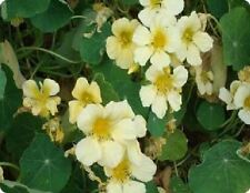 Flower - Nasturtium - Yeti - 200 Seeds - Large
