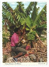 BAHAMAS Cutting bananas for market