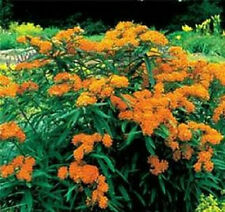 Butterfly Weed Seeds (Asclepias Tuberosa) 100 Flower Seeds