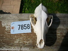 "TAXIDERMY AWESOME NATURAL LARGE ""REAL"" COYOTE SKULL BONE SCIENCE EDUCATION #7858"