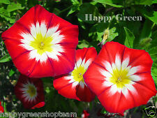 Dwarf Morning Glory Red Ensign - 110 seeds - Convolvulus Tricolor - flower