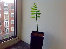 Plant: 1x Encephalartos transvensosus - Modjadji cycad  - Cycad Palm No Seeds