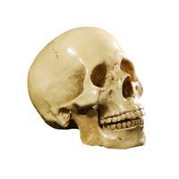 Lifesize 1:1 Human Skull Resin Model Anatomical Skeleton Home Bar Yellow