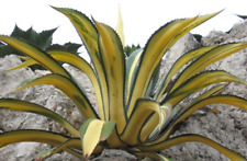 Big Striking Agave Americana V. Medio-Picta 'Aurea' Variegated Succulent Cactus