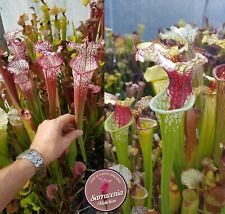52) Pack of Sarracenia seeds 2019/2020, carnivorous plants rare