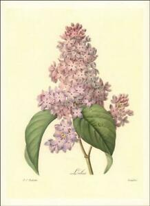 LILAC by PIERRE JOSEPH REDOUTE, beautiful vintage print, authentic 1948*