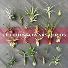 60 assorted Tillandsia air plants - FREE SHIP variety wholesale bulk lot