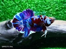 Betta live fish Hmpk Male Red Galaxy