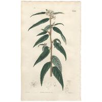 Curtis Botanical Magazine antique 1821 hand-colored engraving Pl 2191 Rulingia