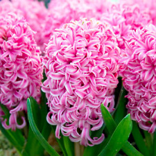 10 Hyacinth Bulbs - Pink Pearl - size 14-16+ cm - Fall Planting Spring Blooms
