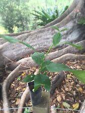 QUEENSLAND MAPLE Silk wood Saplings (flindersia Brayleyana) $10.00 each