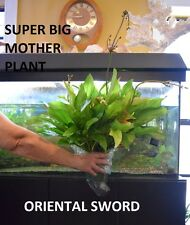 SUPER BIG  Oriental sword Mother plant. aquarium planted tank center piece HUGE