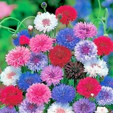 500+Tall Cornflower / Bachelor Button Mixed Seeds Wildflower Garden/Containers