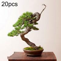 20Pcs Mini Pinus Pine Tree Seeds Picea Perennials Bonsai Plant Garden Home Decor