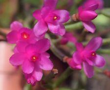 Hatiora herminiae pink rose flower 1 firm cutting rare epiphytic cactus Brazil