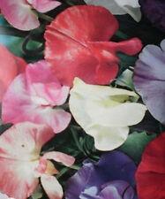 ♫ POIS de SENTEUR 'Fragrance' -Lathyrus odoratus ♫ Graines ♫ Ornement Grimpant ♫