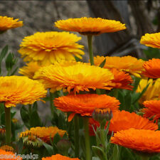 Calendula Fancy Mix Herb Heirloom Seeds - Non-GMO - Untreated - Open Pollinated!