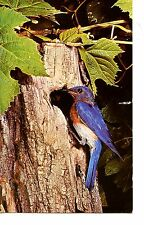 Bluebird-Nest in Tree-Nesting Box Information-Wildlife-Vintage Postcard