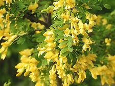 SIBERIAN PEASHRUB Caragana arborescens 40 FRESH SEEDS - ATTRACTIVE TO BEES