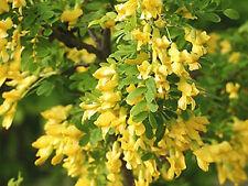 SIBERIAN PEASHRUB Caragana arborescens 40 FRESH SEEDS - ATTRACTIVE TO BEES