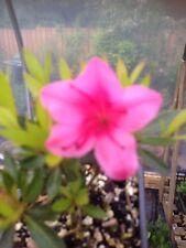 Bonsai Starter Plant Satsuki Azalée 🌺 Floraison Arbre Jardin RARE