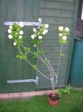 VIBURNUM OPULUS ROSEUM Snowball Bush Tree White Flowering Shrub 3-4ft Potted