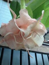 Brugmansia Angels Trumpet 'Sugared Almond' RARE