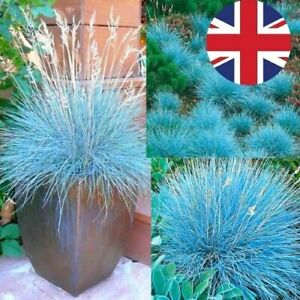 BLUE FESCUE - BLUE HAZE ORNAMENTAL GRASS - Perennial - BORDERS & POTS