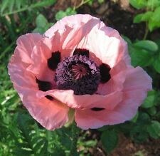 Poppy Seeds Papaver Victoria Louise 500 Oriental Poppy Seeds FLOWER SEEDS