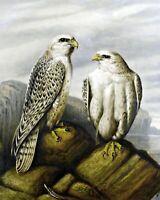 Gyr falcons on a Rocky Ledge by Joseph Wolf. Bird Art .  11x14 Print