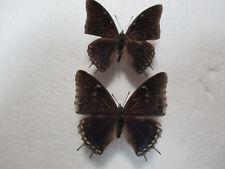 Entomologie Nymphalidae Charaxes virilis virilis Couple (belle femelle) RCI