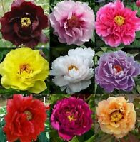 10pcs Peony Flower Seeds Mixed Beautiful Perennial Bonsai Plant Garden and Home