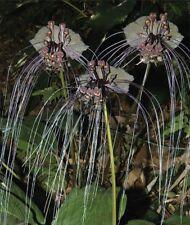 Black Bat Flower - Tacca chantrieri - 5 seeds FREE UK DELIVERY