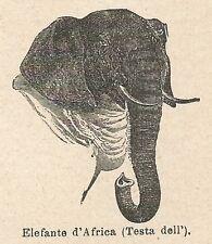 A6935 Testa dell'Elefante d'Africa - Stampa Antica del 1926 - Xilografia