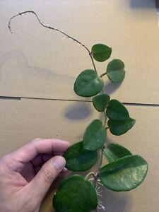 Hoya Fungii - Very Long Cutting