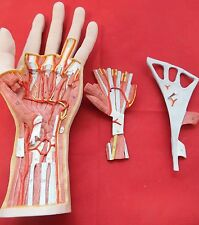 3B Scientific Internal Hand Structure Model, 3 part Anatomical Model Anatomy M18